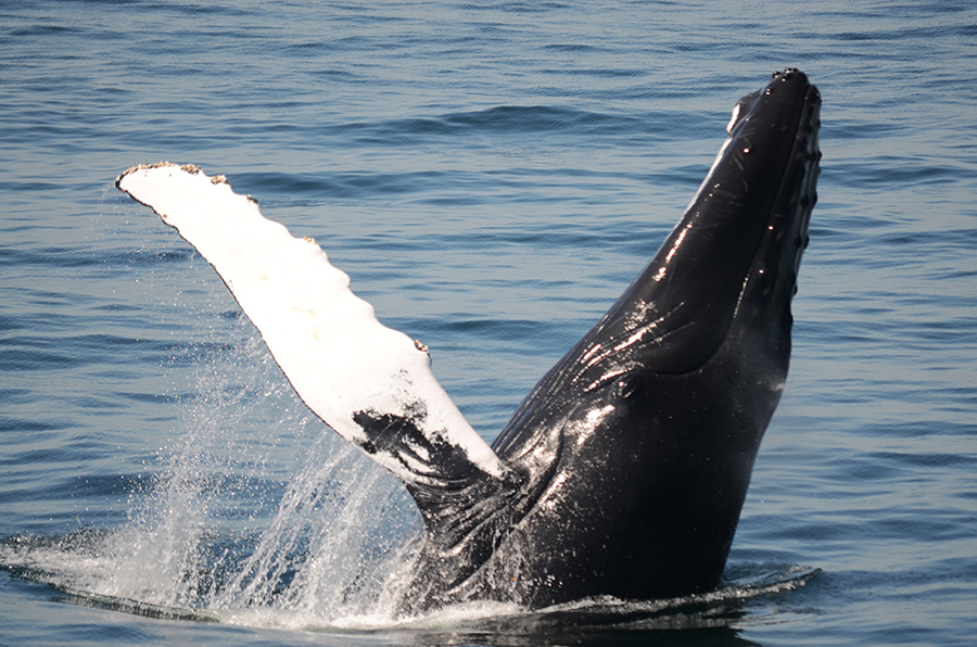 Boston Harbor Cruises Whale Watch